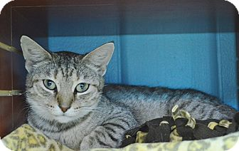 Domestic Shorthair Cat for adoption in Evansville, Indiana - Pretty Girl