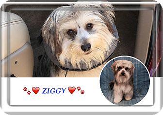 Maltese/Dachshund Mix Dog for adoption in Nuevo, California - ZIGGY