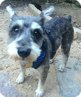Schnauzer (Miniature) Mix Dog for adoption in Oak Ridge, New Jersey - Mylo