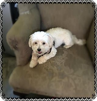 Maltese Mix Dog for adoption in Hazlet, New Jersey - Teddy
