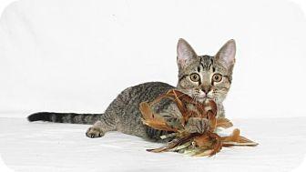 Domestic Shorthair Kitten for adoption in Lufkin, Texas - Peggy