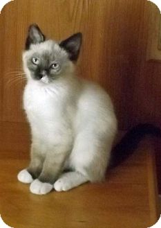 Siamese Kitten for adoption in Salem, Oregon - Billy
