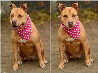 Pit Bull Terrier Dog for adoption in Chatsworth, California - LUNA