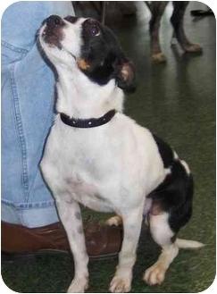 Rat Terrier Mix Dog for adoption in Overland Park, Kansas - Ian