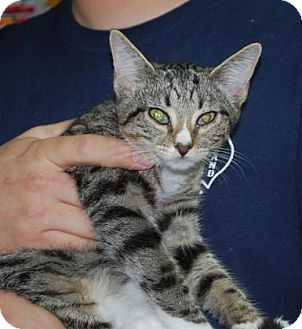Domestic Shorthair Kitten for adoption in Brooklyn, New York - Bean