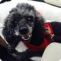 Adopt A Pet :: Nahla:Gentle Girl! (NJ) - Madison, WI
