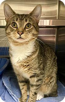 Domestic Shorthair Cat for adoption in Webster, Massachusetts - Galileo