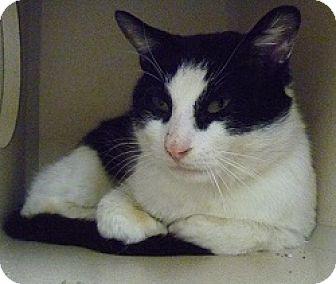 Domestic Shorthair Cat for adoption in Hamburg, New York - Patrick
