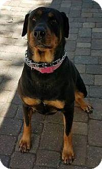 Rottweiler Dog for adoption in New Smyrna Beach, Florida - Mia