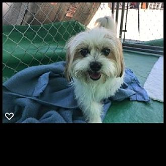 Maltese Mix Dog for adoption in Fallbrook, California - Jake