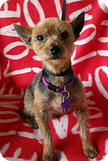 Yorkie, Yorkshire Terrier Mix Dog for adoption in Pittsburgh, Pennsylvania - Goku
