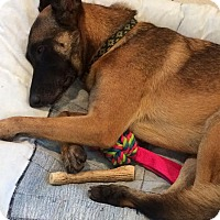 Adopt A Pet :: Malinois (courtesy lourdes) - Homestead, FL