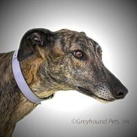 Adopt A Pet :: Geneva - Woodinville, WA