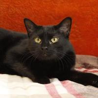 Domestic Shorthair/Domestic Shorthair Mix Cat for adoption in Bristol, Indiana - Capuchin