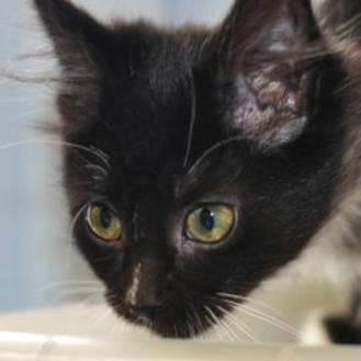Domestic Shorthair/Domestic Shorthair Mix Cat for adoption in Tilton, Illinois - Player