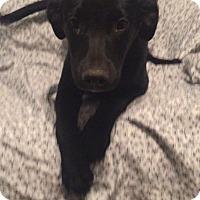 Adopt A Pet :: Genevieve - Brattleboro, VT