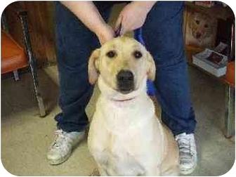 Labrador Retriever Dog for adoption in Mason City, Iowa - Lola