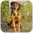 Photo 1 - Bloodhound/Coonhound (Unknown Type) Mix Dog for adoption in Austin, Minnesota - Emmitt