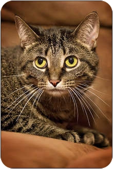 American Shorthair Cat for adoption in Owensboro, Kentucky - Molly
