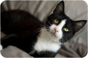 Domestic Shorthair Cat for adoption in Chicago, Illinois - Sweeney