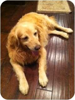 Golden Retriever Dog for adoption in Windam, New Hampshire - Grover