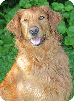 Golden Retriever Mix Dog for adoption in Ladysmith, Wisconsin - D1268