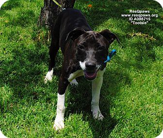 Pointer Mix Dog for adoption in Yuba City, California - Tootsie