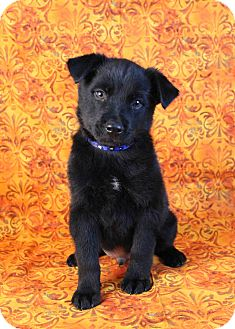 Shepherd (Unknown Type)/Husky Mix Puppy for adoption in Westminster, Colorado - Youri