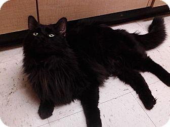 Domestic Longhair Cat for adoption in Germantown, Ohio - Drake