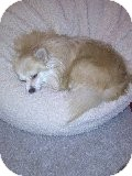 Pomeranian Mix Dog for adoption in Las Vegas, Nevada - Cassie