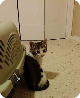 Domestic Shorthair Kitten for adoption in Edmonton, Alberta - Antwan