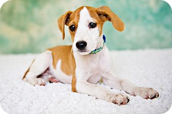 Beagle/Labrador Retriever Mix Puppy for adoption in Houston, Texas - Moo