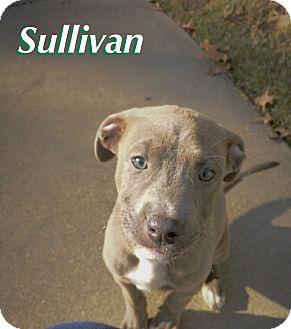 Boxer/Labrador Retriever Mix Puppy for adoption in Nashville, Tennessee - SULLIVAN