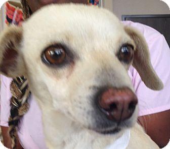 Chihuahua/Dachshund Mix Dog for adoption in Las Vegas, Nevada - Adele