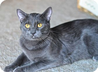 Domestic Shorthair Kitten for adoption in Great Falls, Montana - Punter