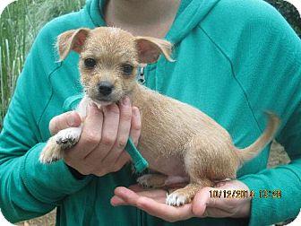Shih Tzu/Chihuahua Mix Puppy for adoption in Oswego, New York - Louie
