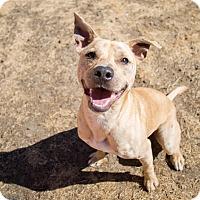 Adopt A Pet :: Merle - Portland, OR