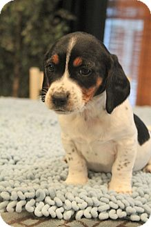 Beagle/Basset Hound Mix Puppy for adoption in Bedminster, New Jersey - Bubbles
