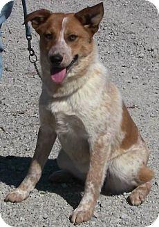 Australian Cattle Dog Mix Dog for adoption in Texico, Illinois - Kimberly