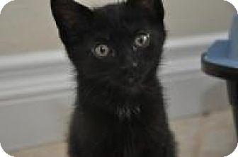 Bombay Kitten for adoption in Mission Viejo, California - Lucky
