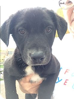 Labrador Retriever/Australian Cattle Dog Mix Puppy for adoption in Cave Creek, Arizona - Kyle
