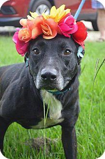 Labrador Retriever Mix Dog for adoption in Hammond, Louisiana - Faith