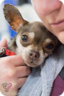 Chihuahua Mix Dog for adoption in Grand Rapids, Michigan - Tulip