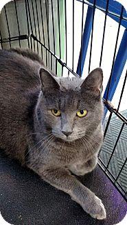 Russian Blue Cat for adoption in Yuba City, California - Molly