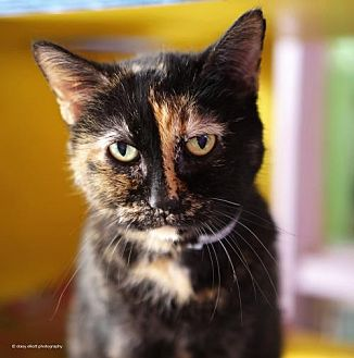 Domestic Shorthair Cat for adoption in Tucson, Arizona - Nutmeg