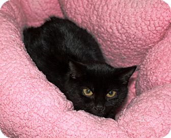 Domestic Shorthair Kitten for adoption in Nolensville, Tennessee - Sasha