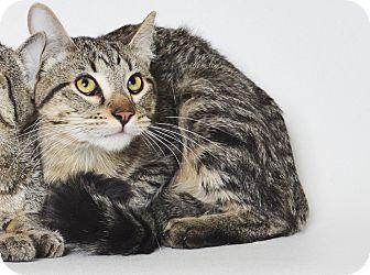 Domestic Shorthair Kitten for adoption in Fruit Heights, Utah - Dave