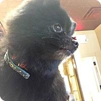 Adopt A Pet :: Pompom - Vaudreuil-Dorion, QC