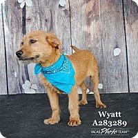 Adopt A Pet :: Wyatt - West Warwick, RI