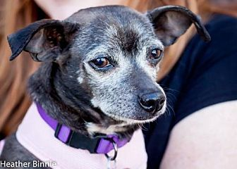 Chihuahua/Dachshund Mix Dog for adoption in Tucson, Arizona - Bernice